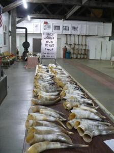 Cow Horns lined up in a row! Don't they look pretty.